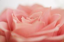 ピンクのバラ 花びら