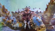 Kamchatka Fishing Crab, Close-...