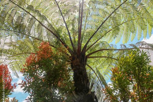 The midday sun shines through the crown of the tropical tree Cyathea Arborea Wallpaper Mural