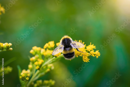 Foto bumblebee collects flower nectar of goldenrod on a summer sunny day