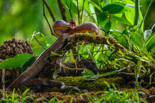 Puffing Snake - Phrynonax poecilonotus is a species of nonvenomous snake in the family Colubridae Wallpaper Mural