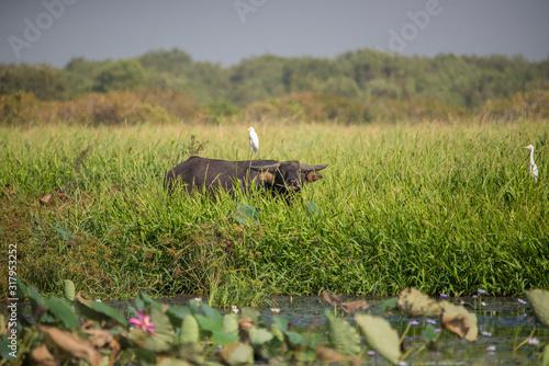 Photo Water buffalo on a floodplain, Mary River, Darwin, Northern Territory, Australia