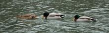 Three Ducks Swimming In A Lage...