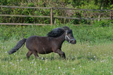 A cute Shetland pony galloping in the meadow.