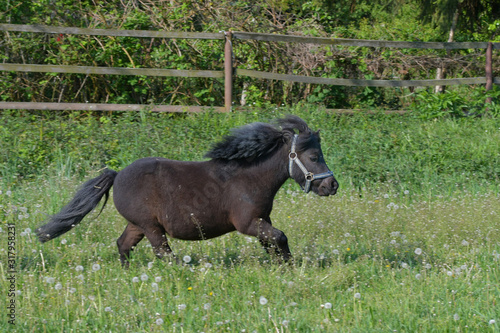 Photographie A cute Shetland pony galloping in the meadow.