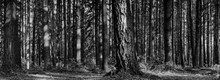 Detailed Forest With Evergreen Pines In Black And White