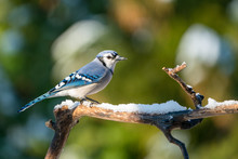Perched Blue Jay On Snowy Branch
