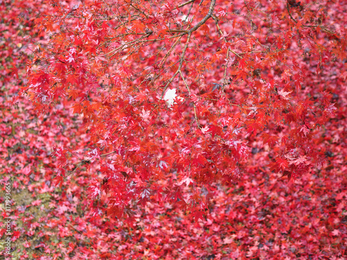 red autumn leaves texture background Wallpaper Mural