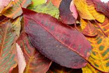 Cherry Tree Leaves