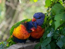 Two Rainbow Lorikeets Preening...