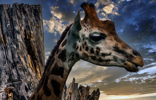Giraffe (Giraffa) is an African artiodactyl mammal, the tallest living terrestri Canvas-taulu