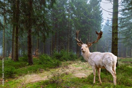 Photo Wunderschöner weißer Hirsch (Albino) steht in einem märchenhaften Nadelwald