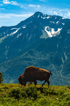 American Bison Grazing On Mountain Against Sky