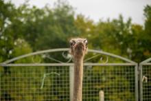 Outdoor Portrait Of An Ostrich