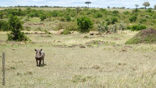 Photo Warthog (Phacochoerus Africanus) in Africa