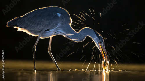 Silhouette of Grey heron hunting for fish at night Canvas Print