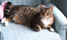 Gorgeous Tabby Cat With Clever...
