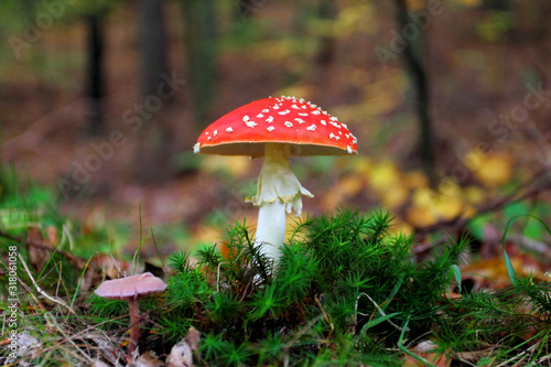 Photo Amanita muscaria, commonly known as the fly agaric growing in the forest