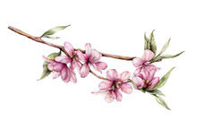Watercolor Cherry Blossom. Hand Painted Flowers, Leaves And Branch Isolated On White Background. Floral Spring Illustration For Design, Print, Fabric Or Background.