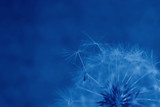 Fototapeta Dmuchawce - Summer dandelion flower. Fragment. Tinted blue. Blue background. Selective focus.