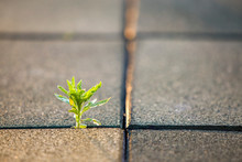 Close Up Of Young Little Green Plant Starting To Grow Between Concrete Tiles In Spring. Beginning Of New Life Concept.