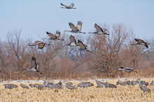 Sandhill Cranes Taking Off Fro...