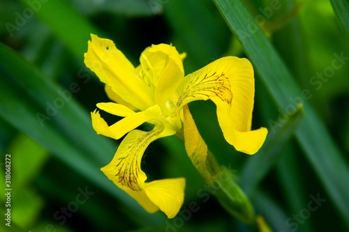 Closeup shot of a beautiful yellow iris in the garden under the light of the sun