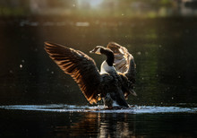 Canada Goose Flapping Wings In Lake
