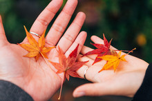 Cropped Hands Of Women Holding Maple Leaves