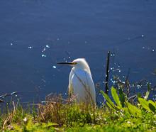 Resting Snow Egret