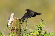 Red-winged Black-bird Female I...