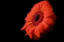 Gerbera Flower Isolated On Bla...