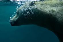 Close-Up Of Polar Bear Swimming In Sea