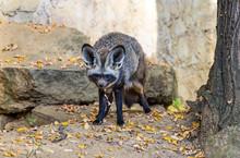Bat-eared Fox (Otocyon Megalot...