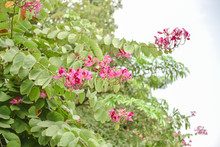 Bauhinia Flowers . Bauhinia Is Produced In Southern China. India And Indochina Peninsula Are Distributed. It Is A Good Ornamental And Nectar Plant, Widely Cultivated In Tropical And Subtropical Areas.