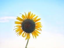 Sunflower On Background Of Blue Sky