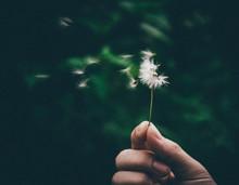 Cropped Hand Holding Dandelion Flower