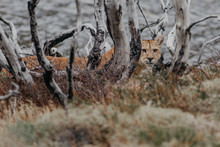 Cougar By Plants And Trees