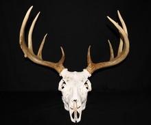 European Mount Whitetail Buck ...