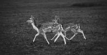 Deer Running In Grassy Field