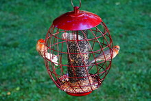 American Red House Finch Birds Inside A Squirrel Proof Bird Feeder, Filled With Sunflower And Wild Seeds