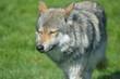 European grey wolf, Canis lupus lupus
