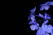 Plumbago Auriculata Flower