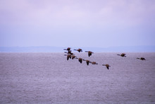 Geese Flying Over Sea During Dusk