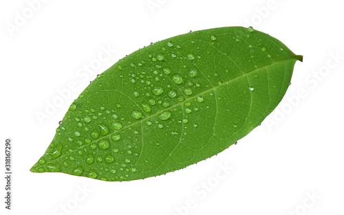 Fototapety, obrazy: Leaves with water drops isolated on a white background