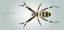 Vector Illustration. Argiope Bruennichi, Garden Spider.