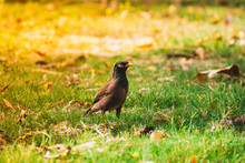 A Close Picture Of Common Indian Myna Bird Sitting On Green Grass In The Morning