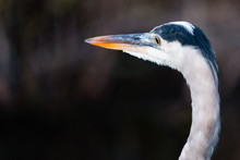 Close-Up Of Great Blue Heron