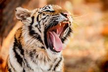 Close-Up Of Tiger Cub Yawing