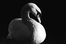 Close-Up Of Swan On Sunny Day